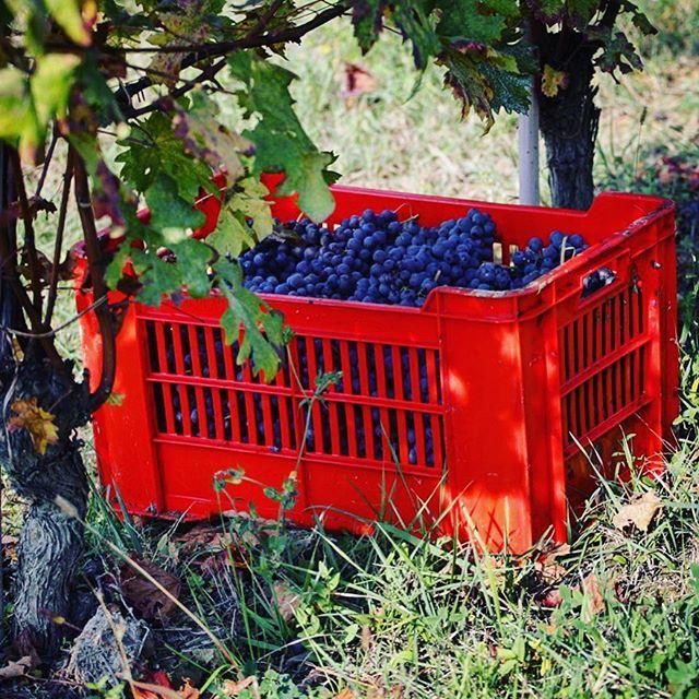 En kasse 2018 Vajra Barolo Baudana - høstet i dag 🍇 #barolo #harvest @vinforum.no #enotriavin