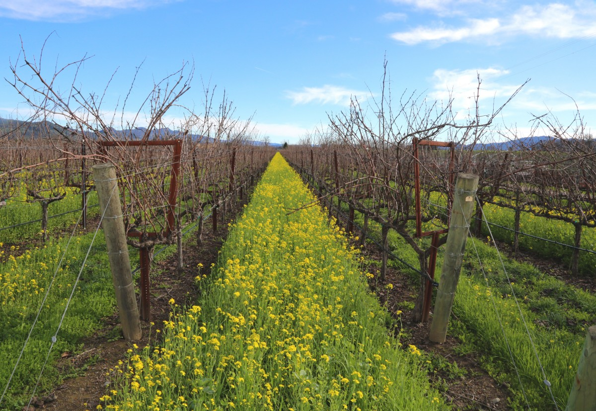 napa_valley_wine_winery_vineyards_california_mustard_mustard_bloom_vineyard-657089.jpg