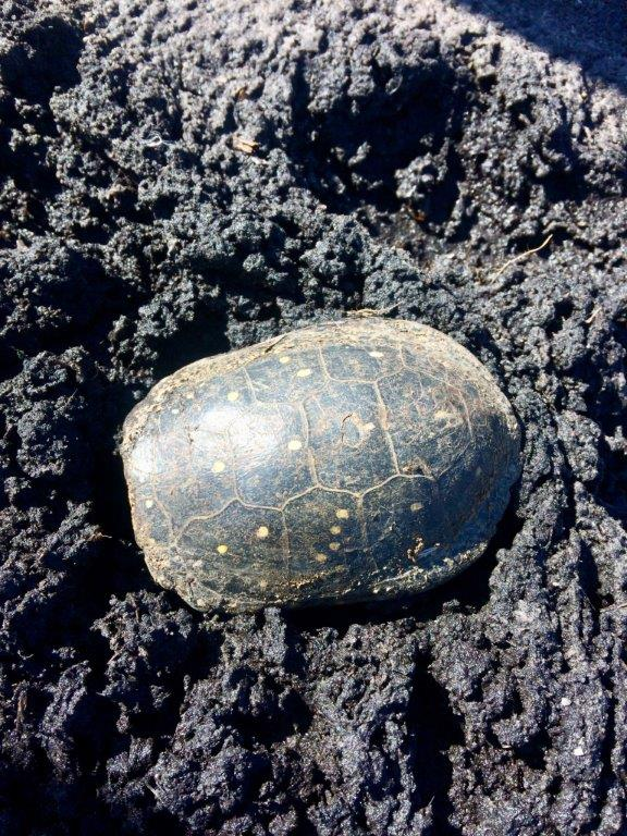 Spotted turtle (endangered)
