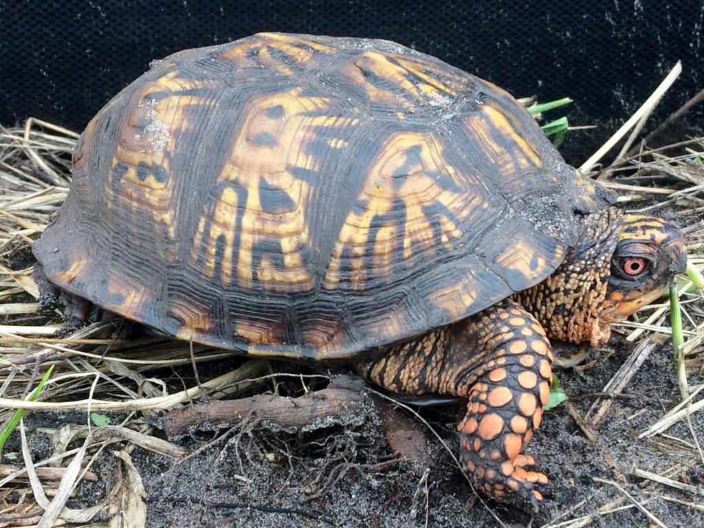 Eastern box turtle (species of special concern in Indiana)