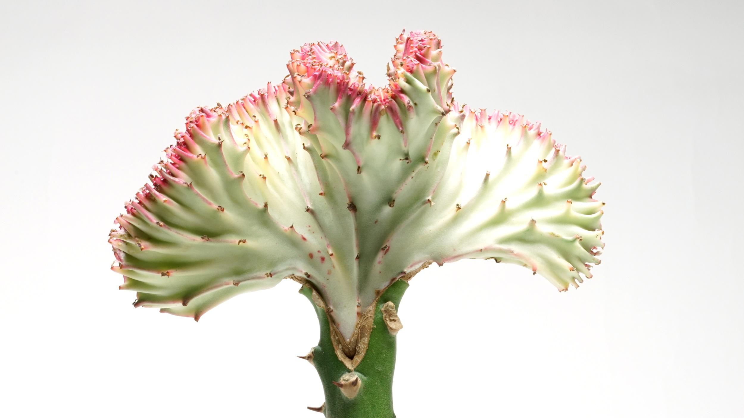 A grafted Euphorbia lactea