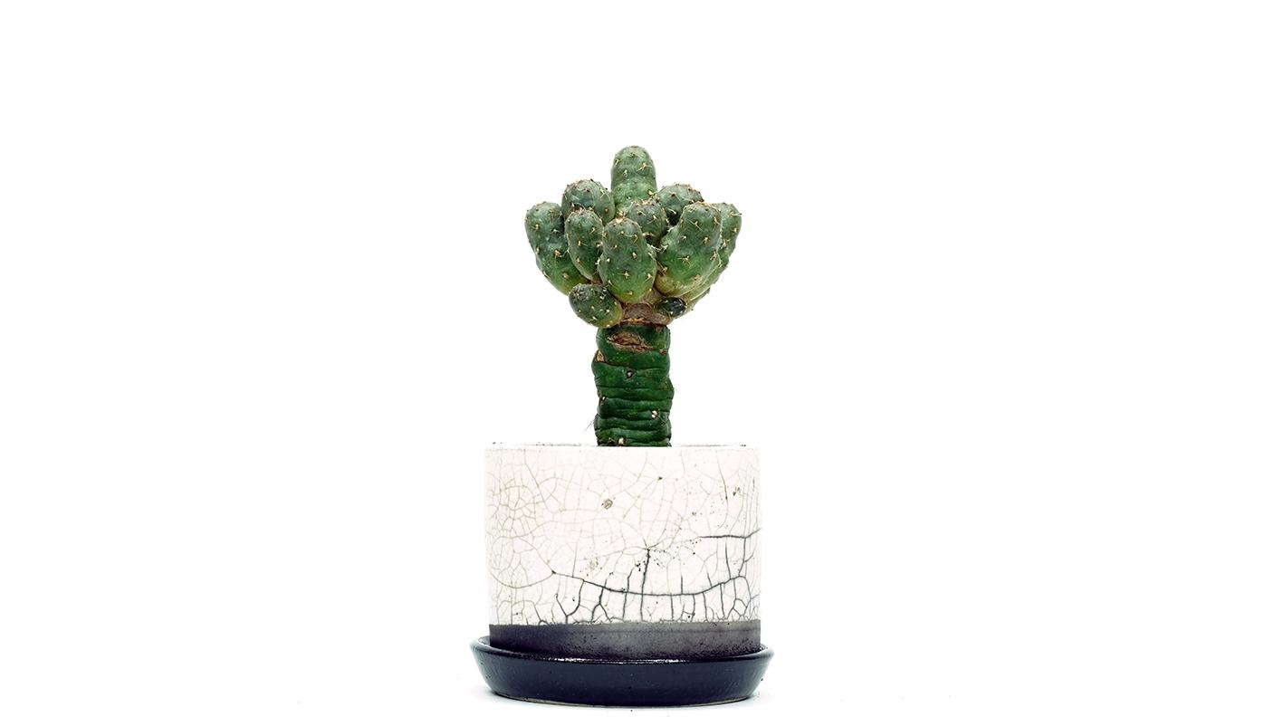 Blog_cactus grafting1png.png