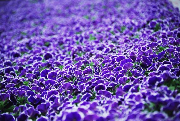30_Rhythm-n-Blues-petunia.jpg