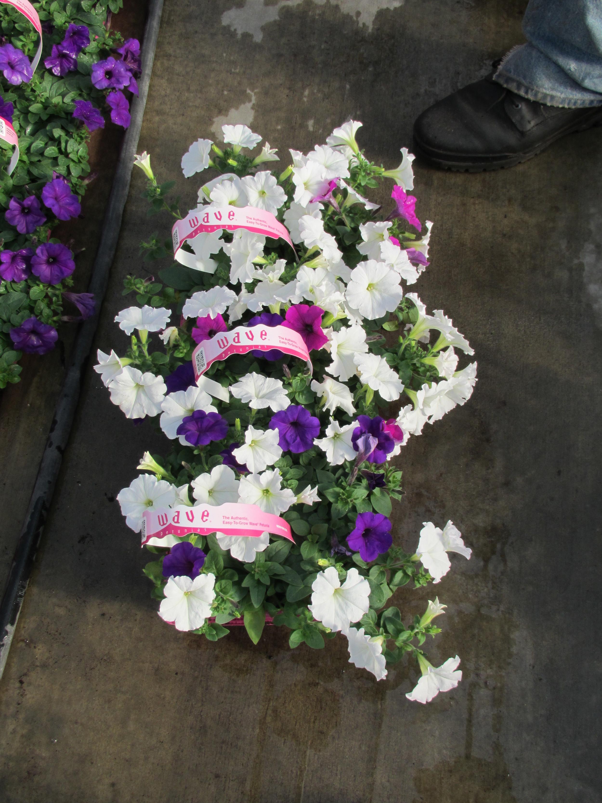 306 Wave Petunia White Purple Randys 040213.JPG