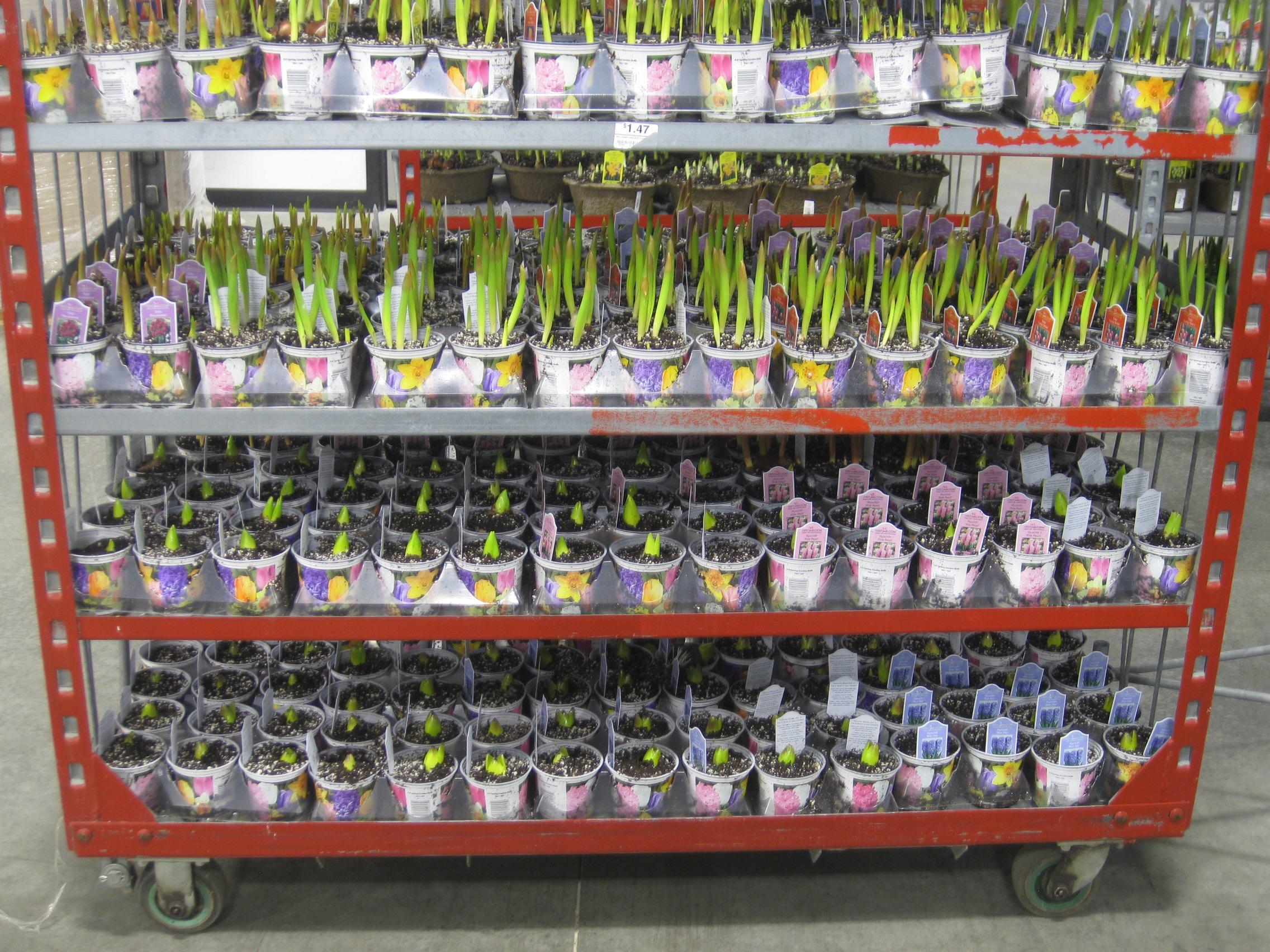 Bulbs on Dock 2 031411.JPG