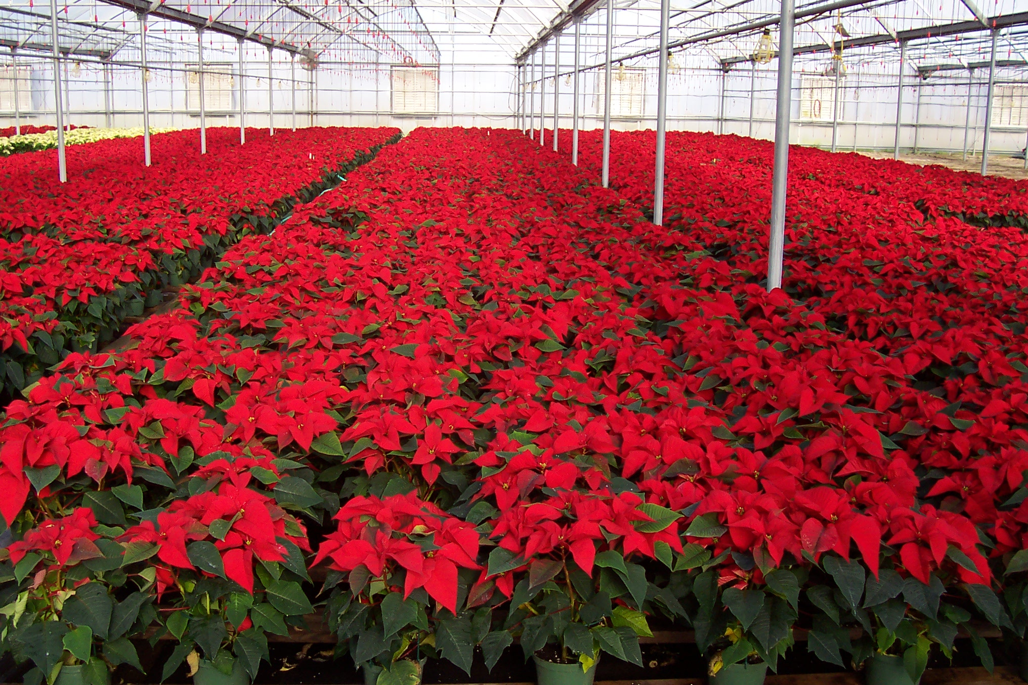 2007 PANSE POINSETTIA RED GROUP A.JPG
