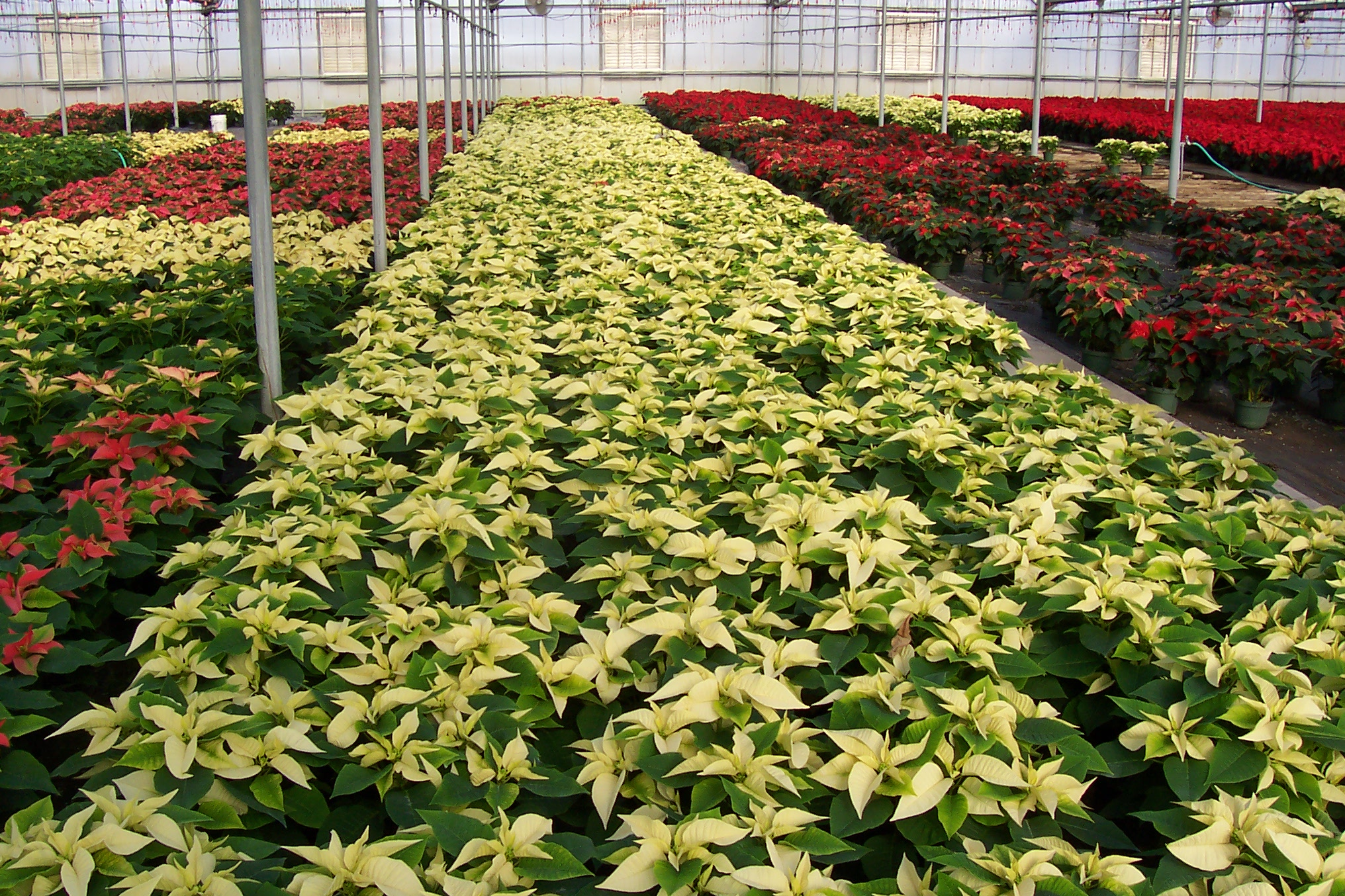 2007 PANSE POINSETTIA WHITE AND RED GROUP.JPG
