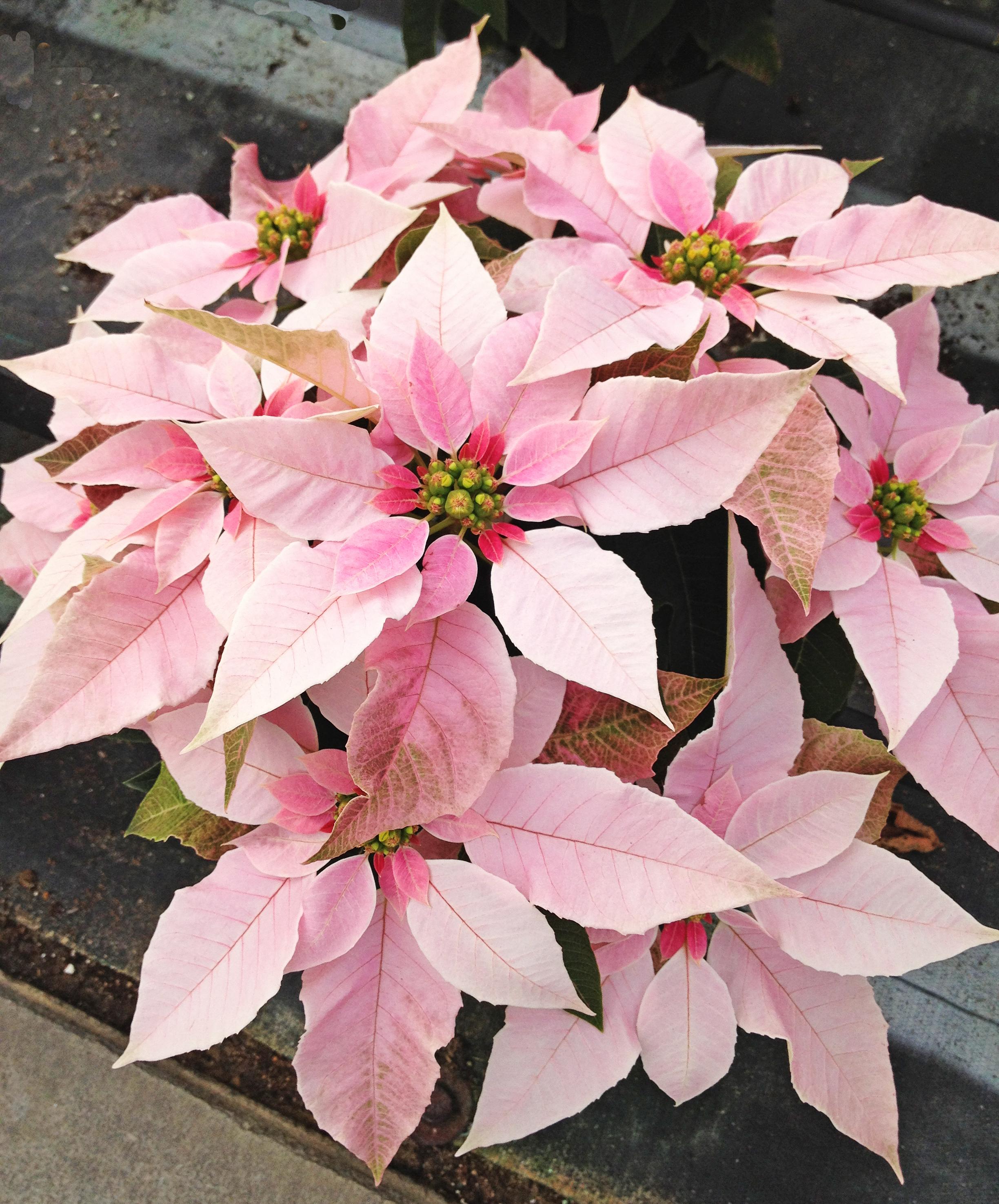 6.5inch Poinsettia Flower - Novelty 4.jpg
