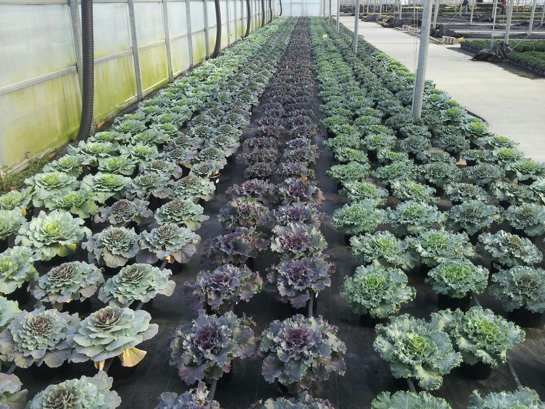 Kens P6 Cabbage Kale 090814.jpg
