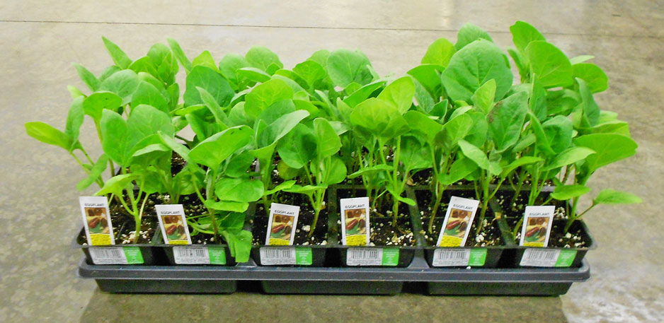 Dock-eggplant.jpg