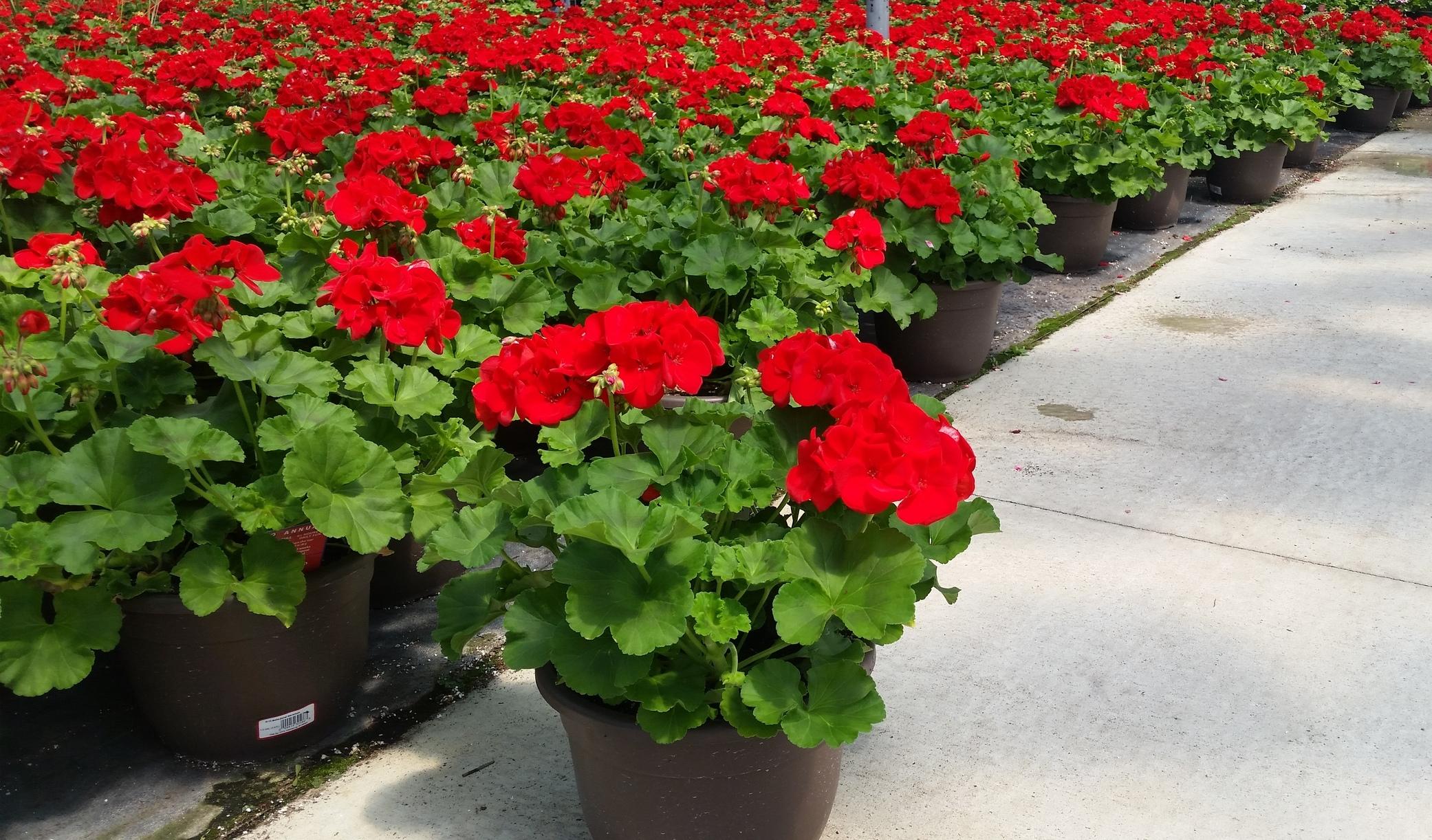 D10 Bella Planter - Zonal Geranium - Flowertime.jpg
