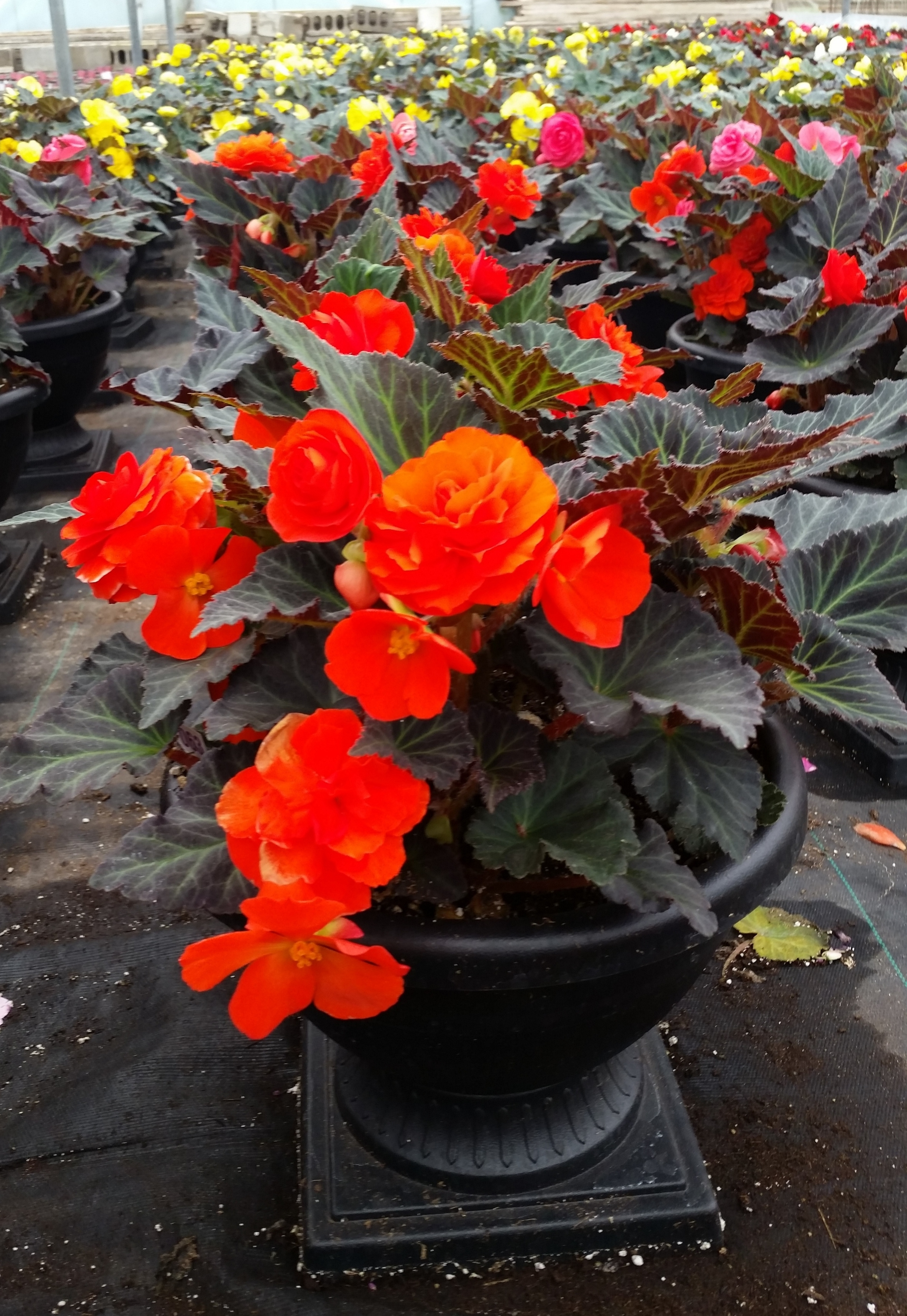 05-08-2015 D12 Chelsea Planter - Growing Place - Non Stop Begonia.jpg