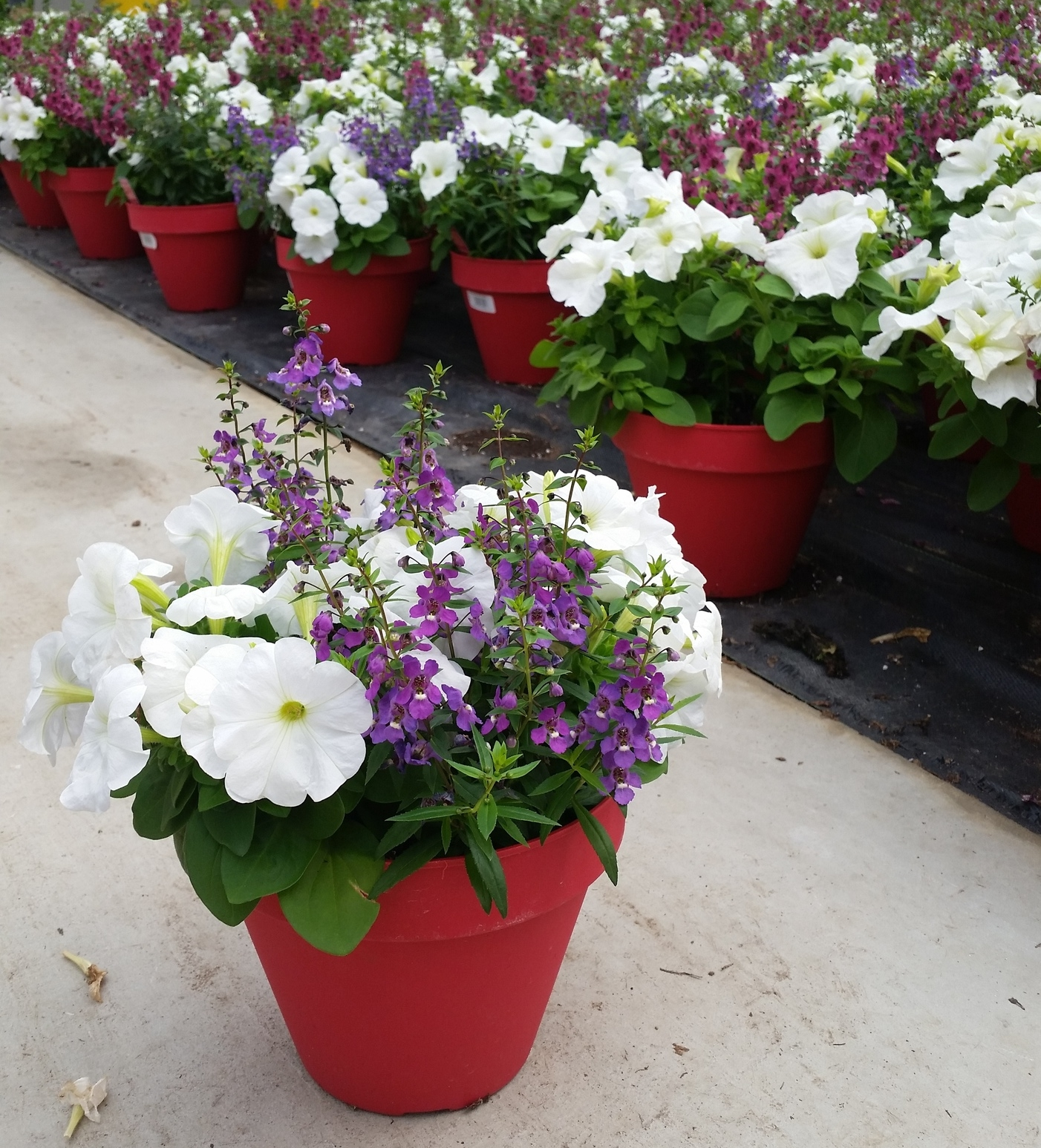 05-16-2015 D8 Terra Planter - Wenke - Petunia Angelonia.jpg
