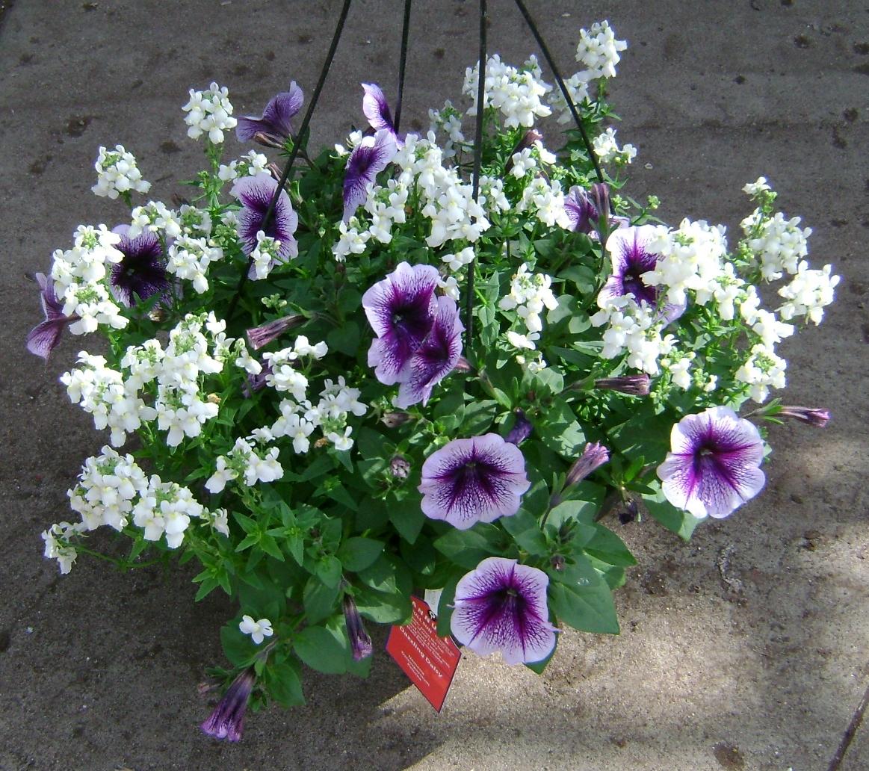 Plants Unlimited WM H12 Dazzling Daisy 041615.jpg