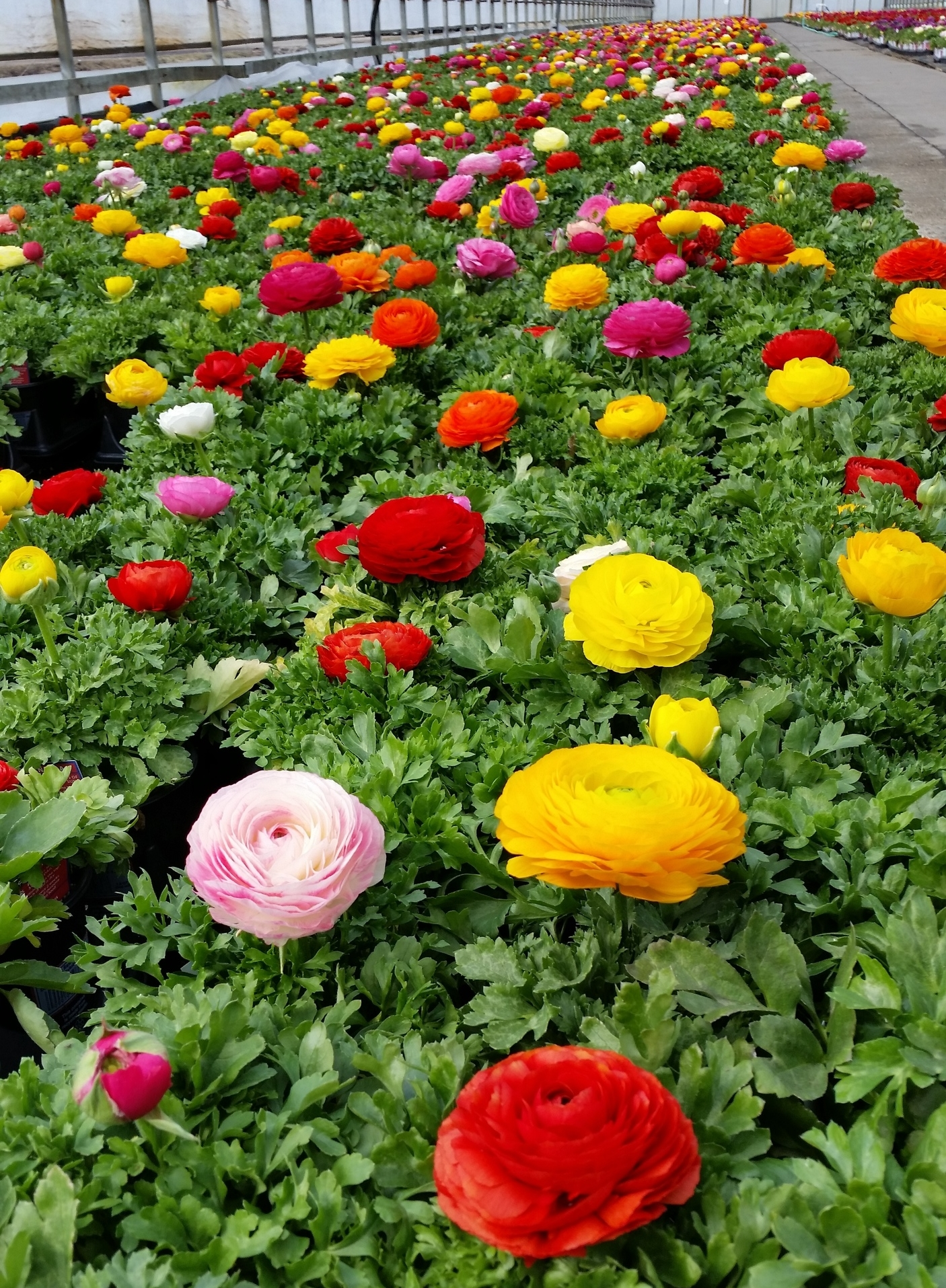 PQt Premium Annual Mix 1 - Ranunculus - Plants Unlimited (2).jpg