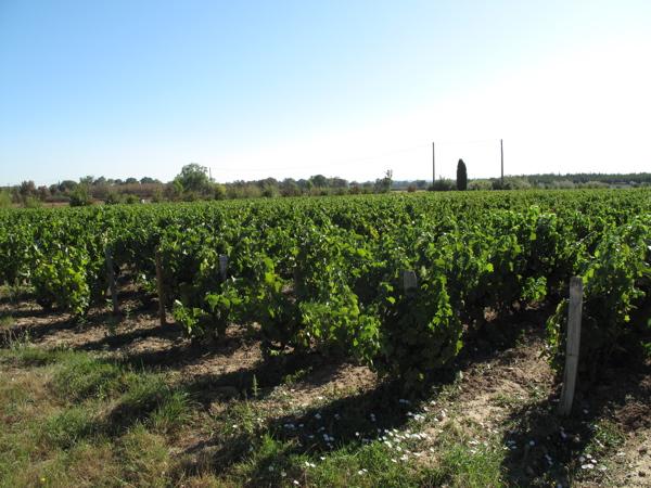 Chateau Cambon vines.jpg