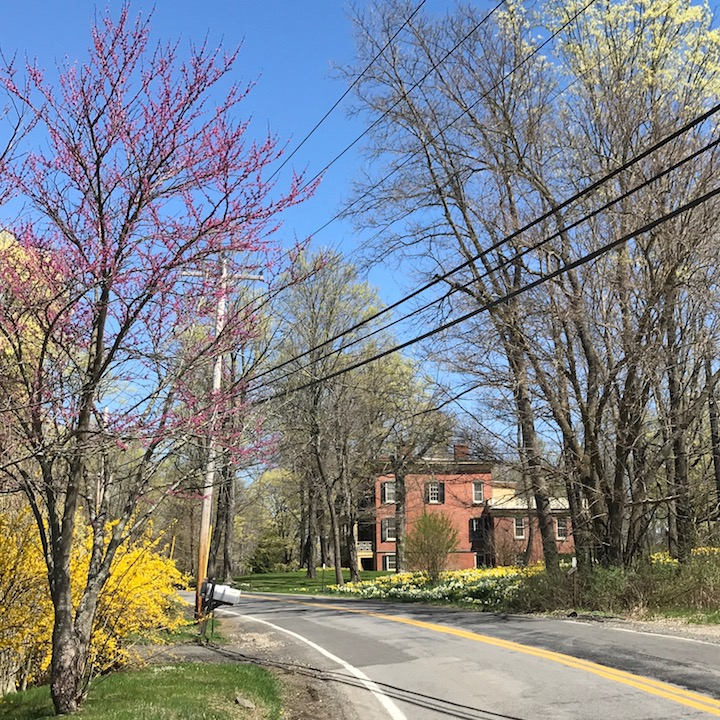Forsythia Redbud and daffodils on Woods Road