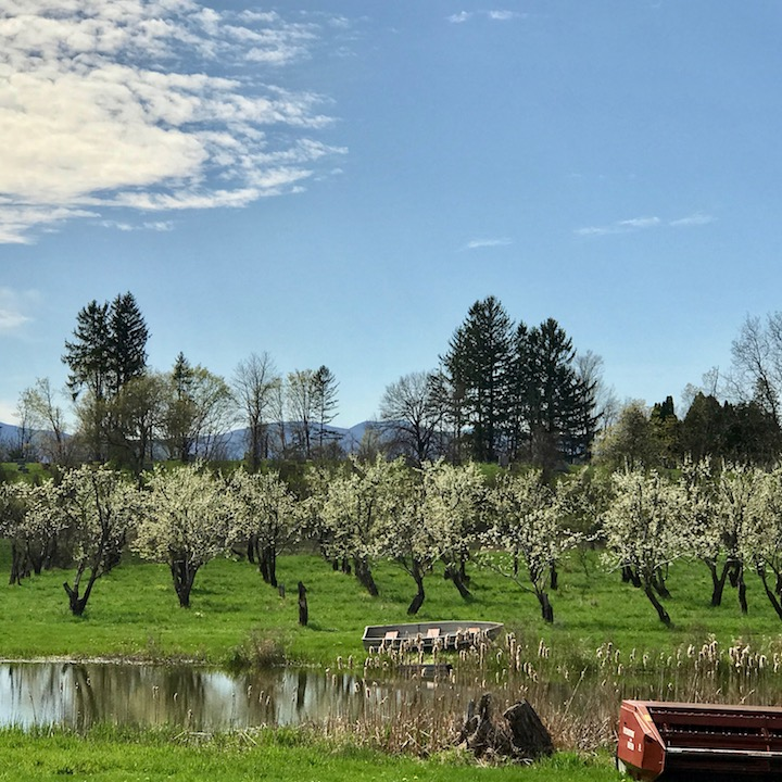 Farther down the road, an apple orchard begins to blossom