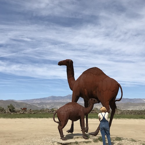 Contemplating a sucking camel