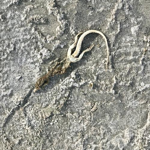 Beach Lizard.jpeg