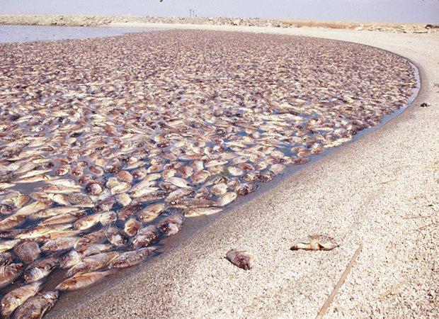 dead tilapia along the shore of Salton Sea photo: www.kpbs.org