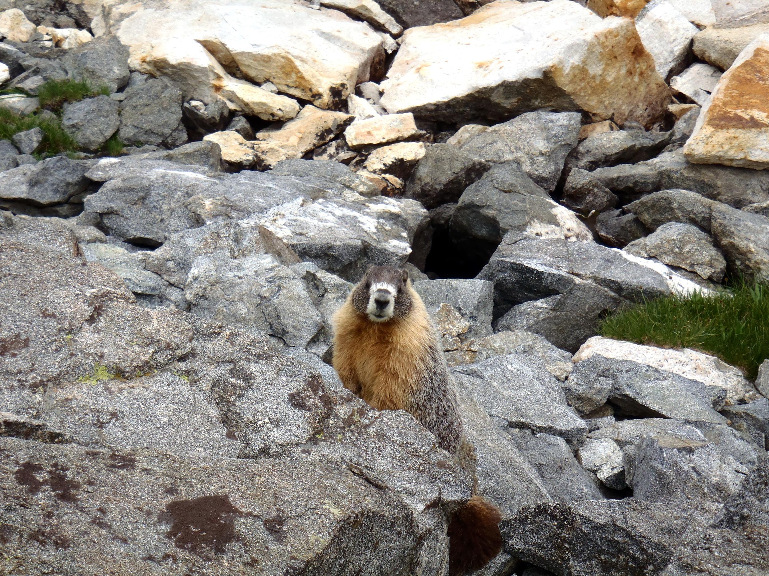 Marmot_CU.jpg