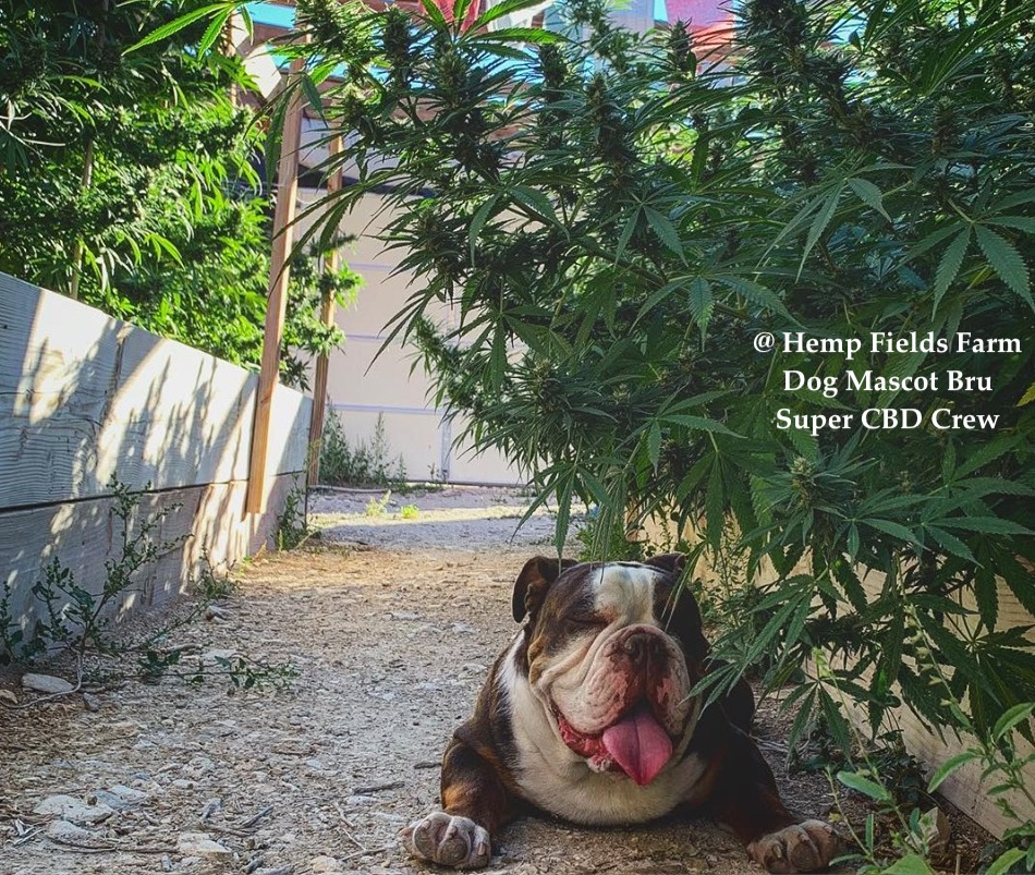 This is Bru the Bulldog. He is the watcher of the CBD putting his loving energy into each plant.