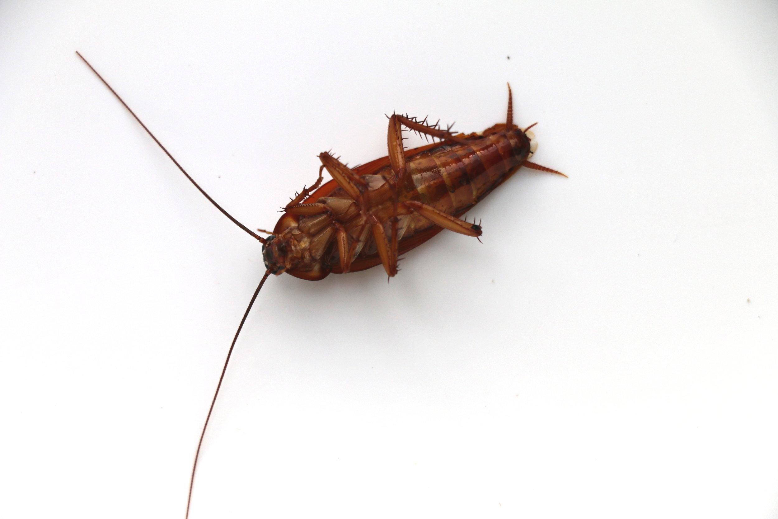 COckroach treatments