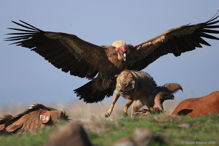 Huge sex-crazed Andean condors the size of Andean Condors are set to invade Yarm-on-Tees