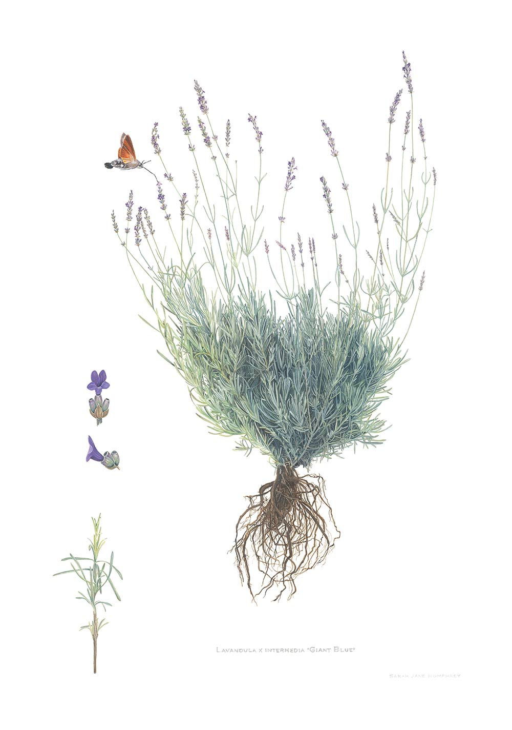 'Lavendula' Limited Edition Print for The RHS Collection