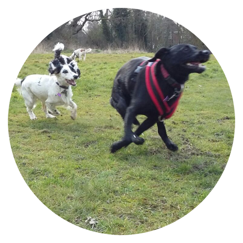 A group of my super-active clients out on the run on one of my professional dog walks around North London