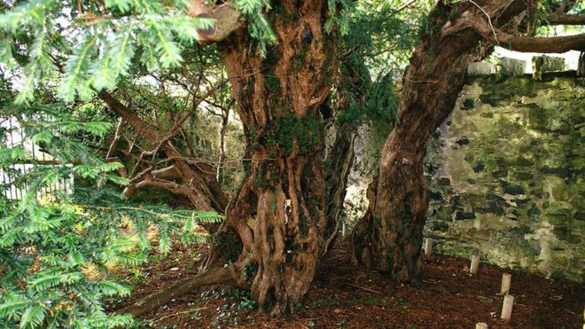 fortingall-yew-trunk.jpg