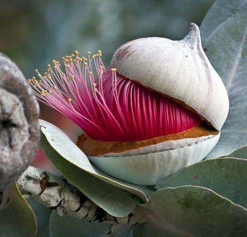 Beautiful Eucalyptus -
