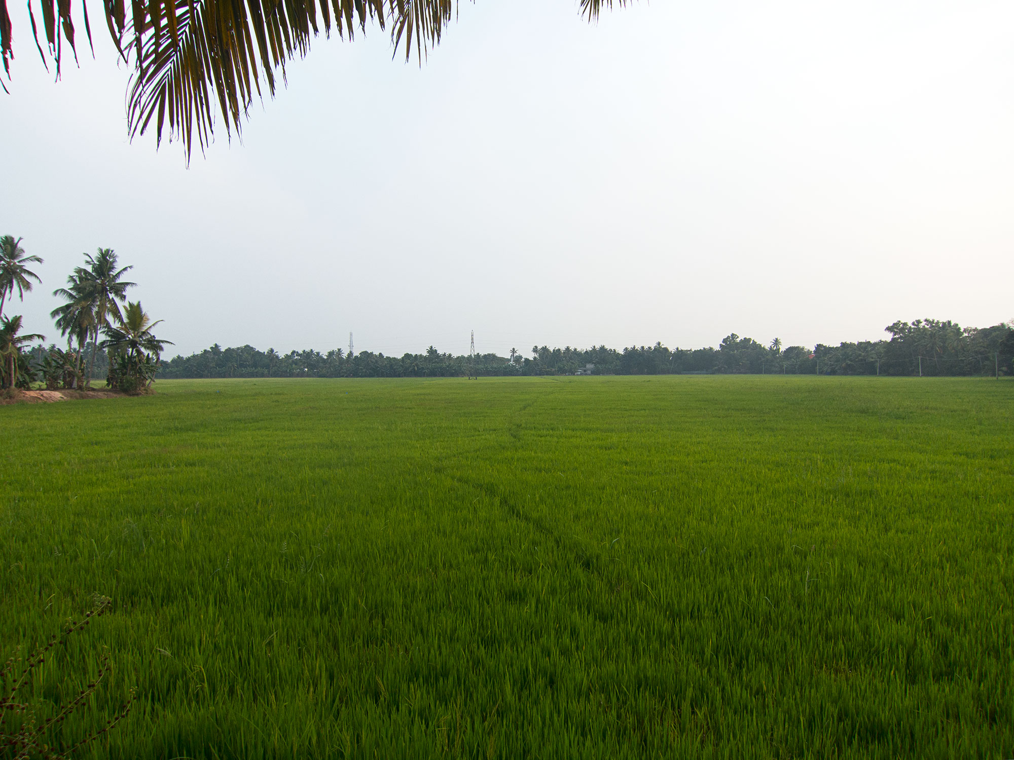 Rice paddy.