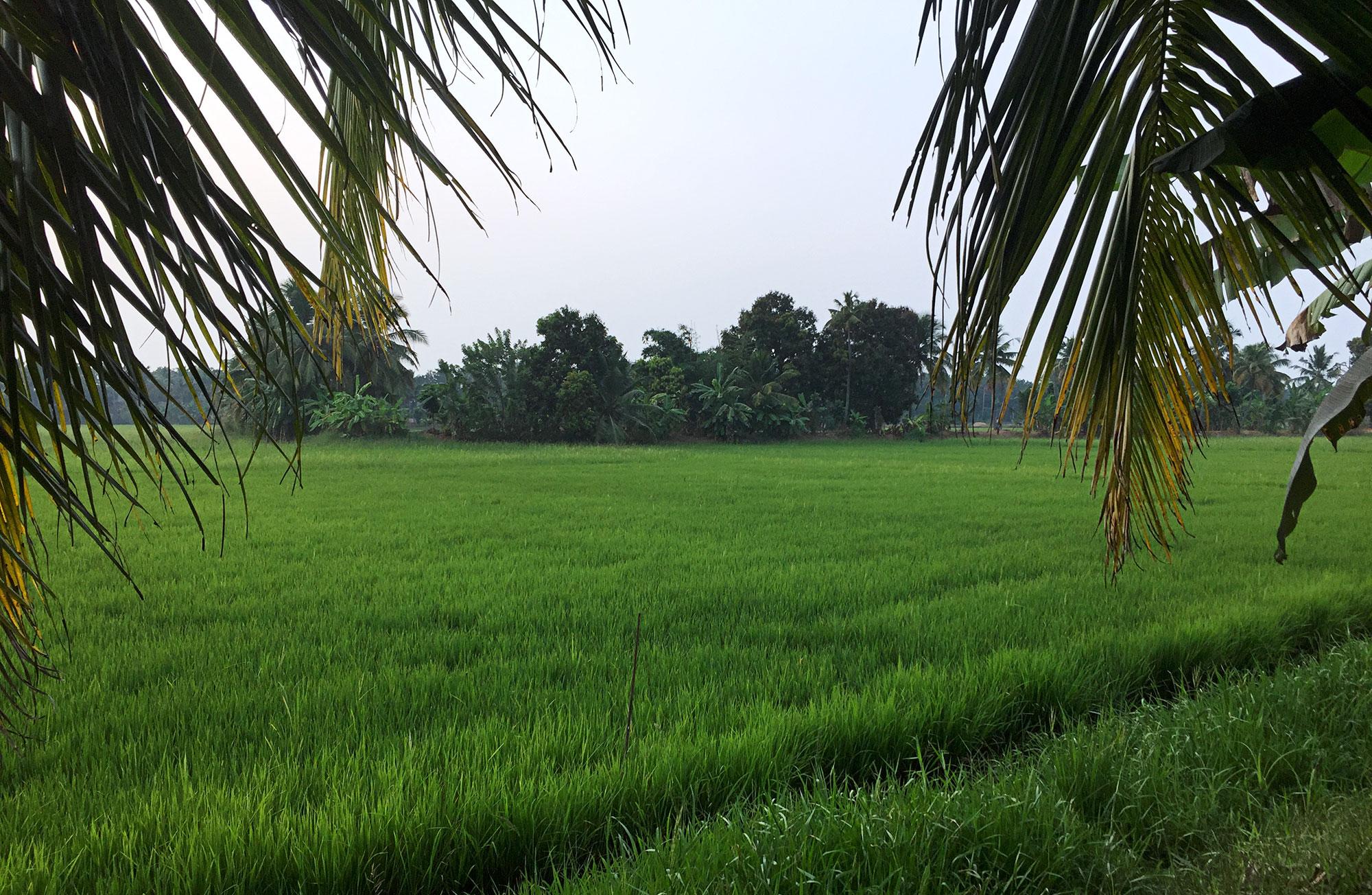 Rice paddy in the Kerala backwater.
