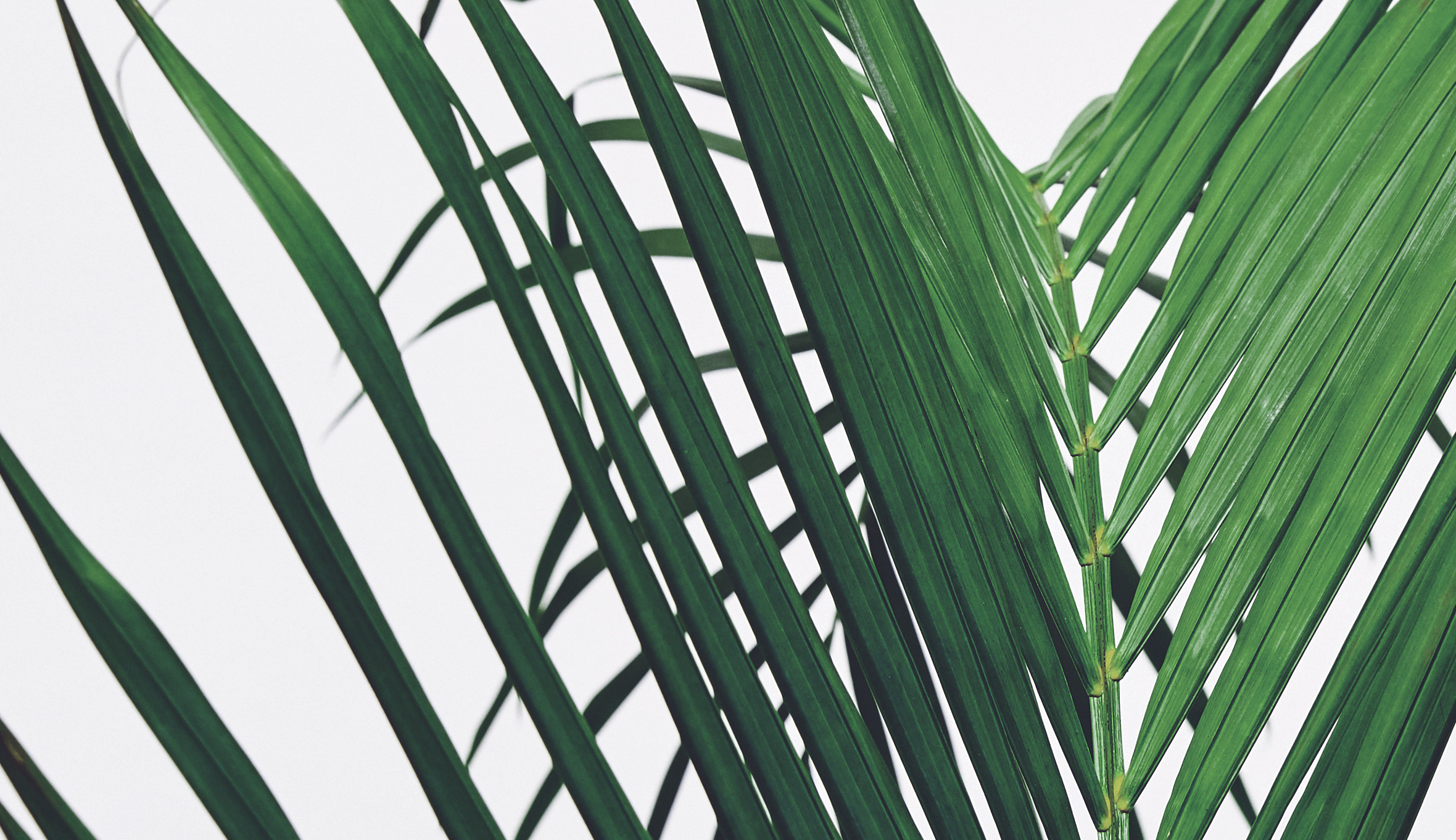 am:Surf Palm Leaf