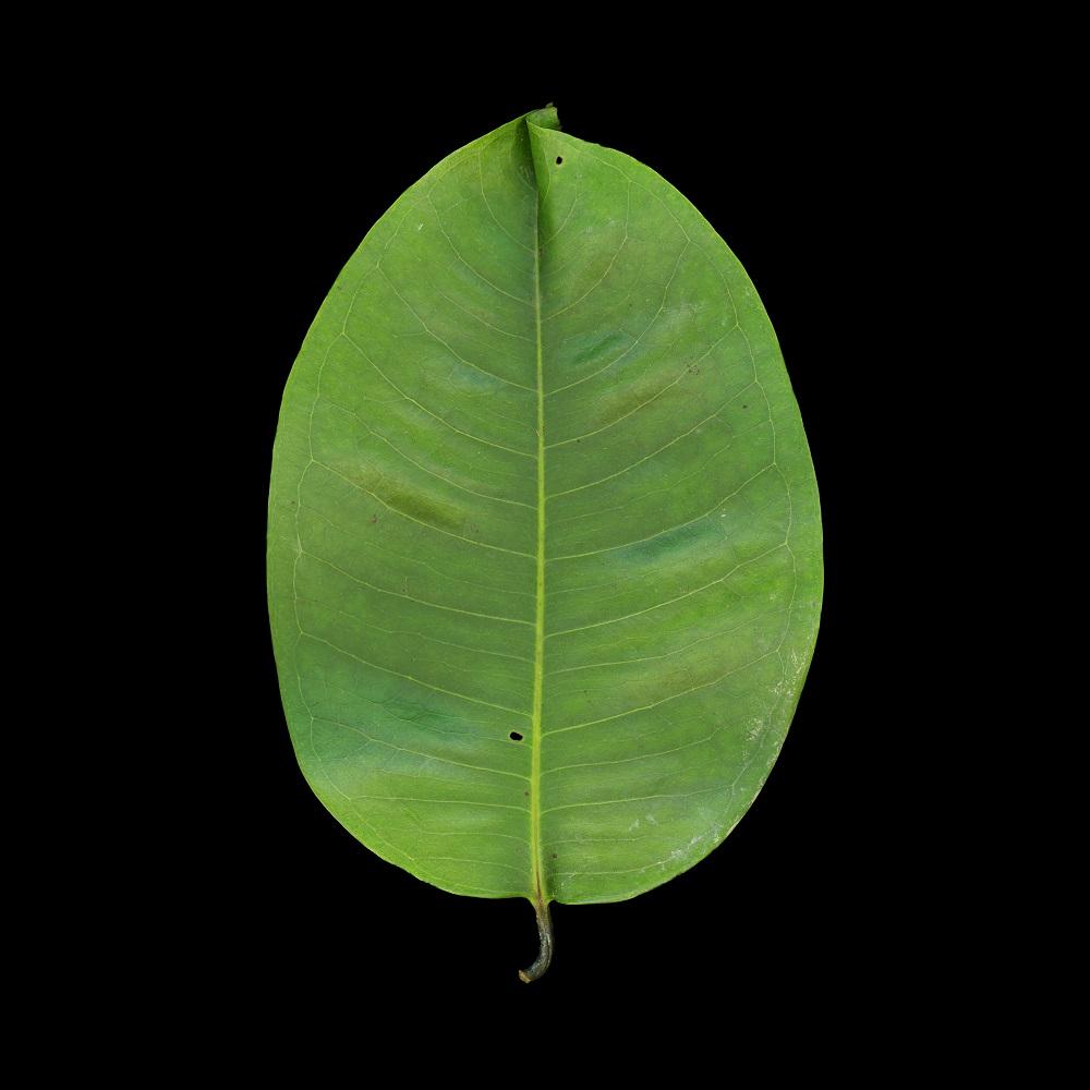 Angsana Leaf, Singapore, 3/15, 2010-2011