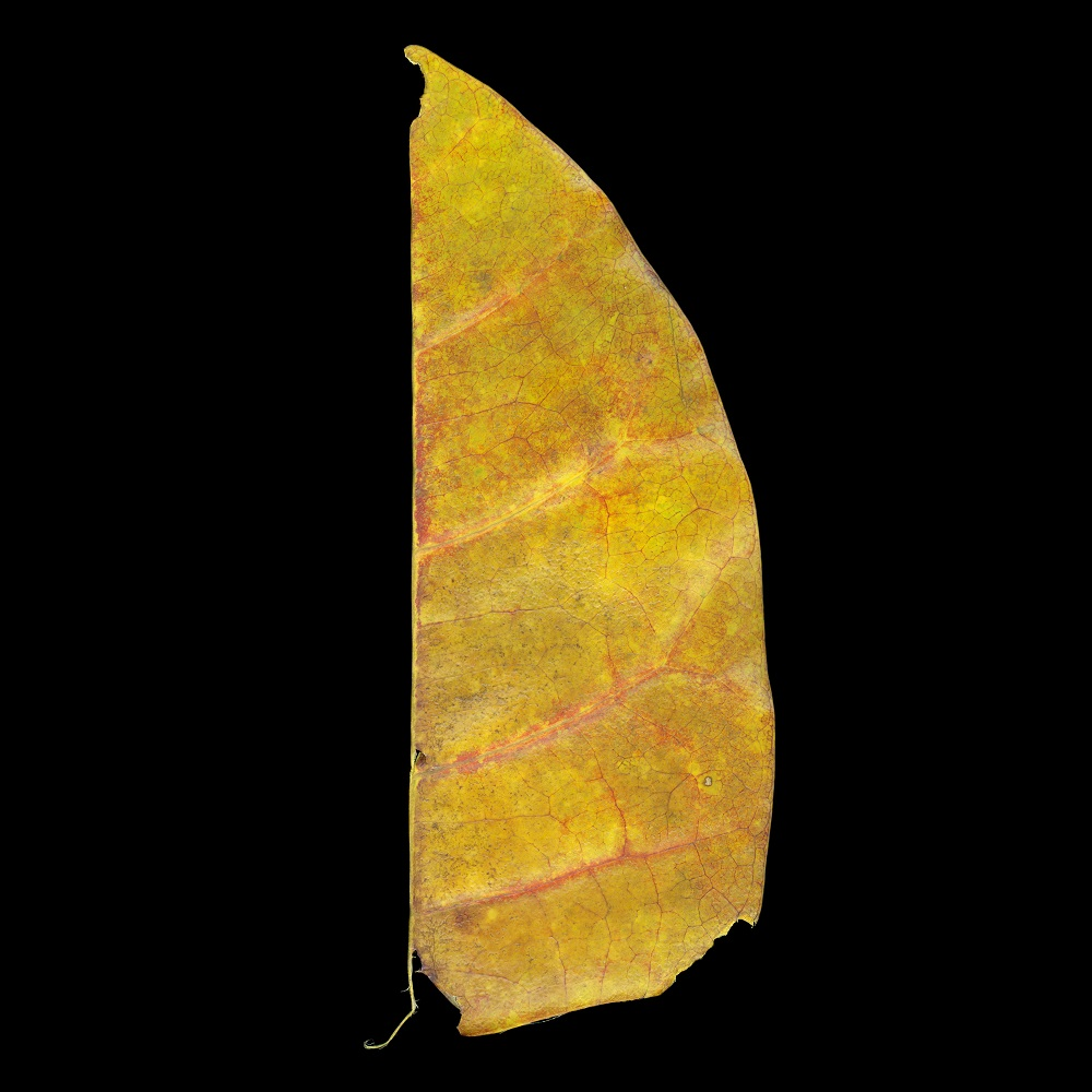 Pulau Ubin Half Leaf, Singapore, 1/15, 2010-2011