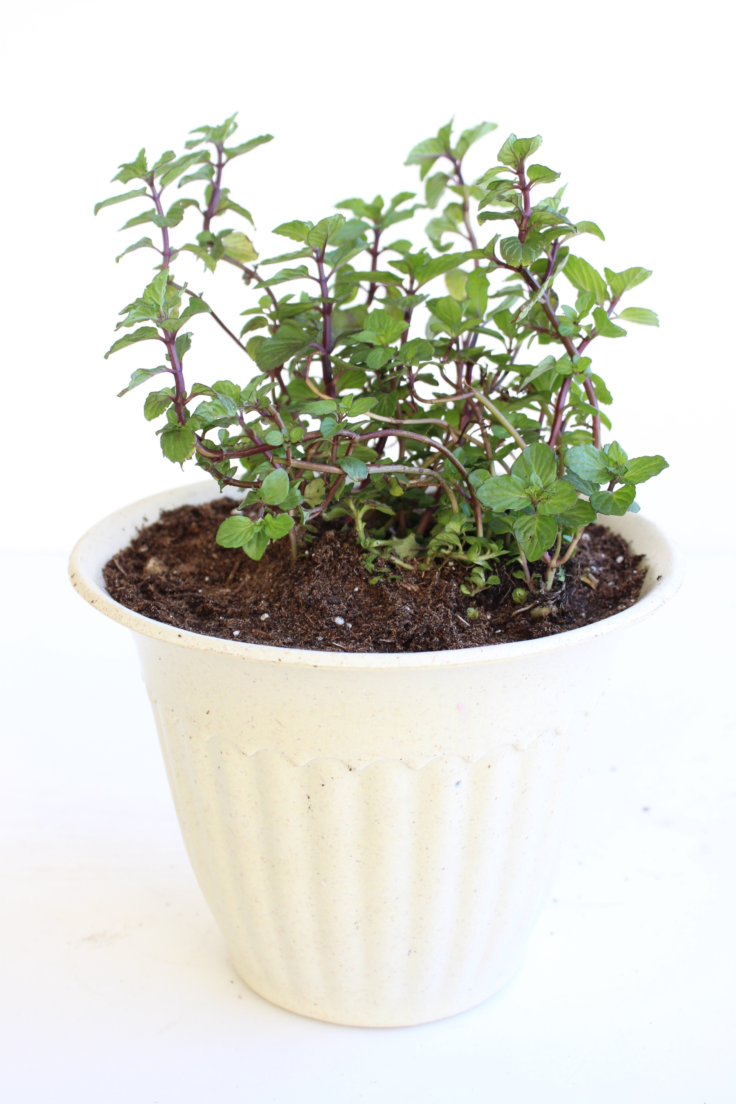 Isn't this mint plant beautiful? Another $0.99 herb from our local nursery!