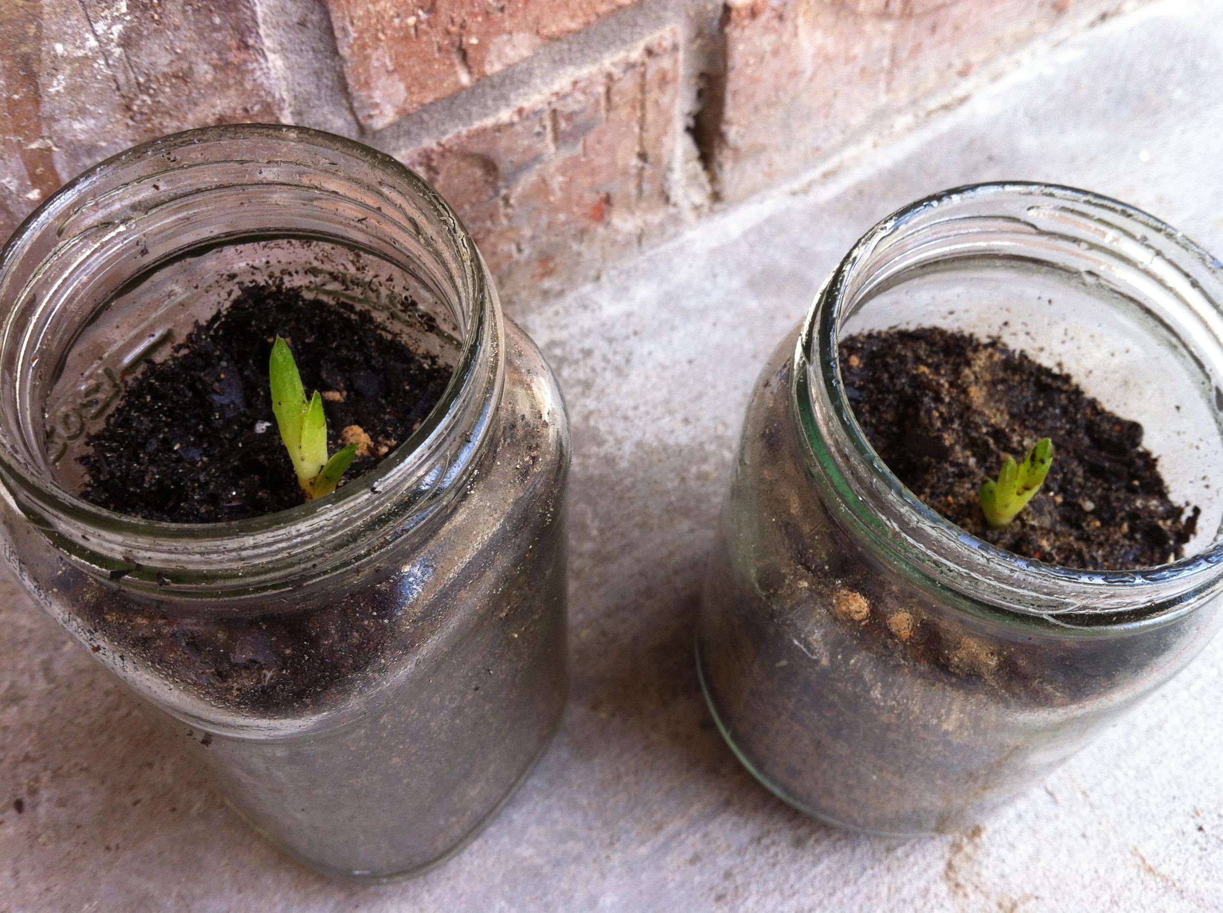 July 2012: Propagated aloe vera plants in jars.