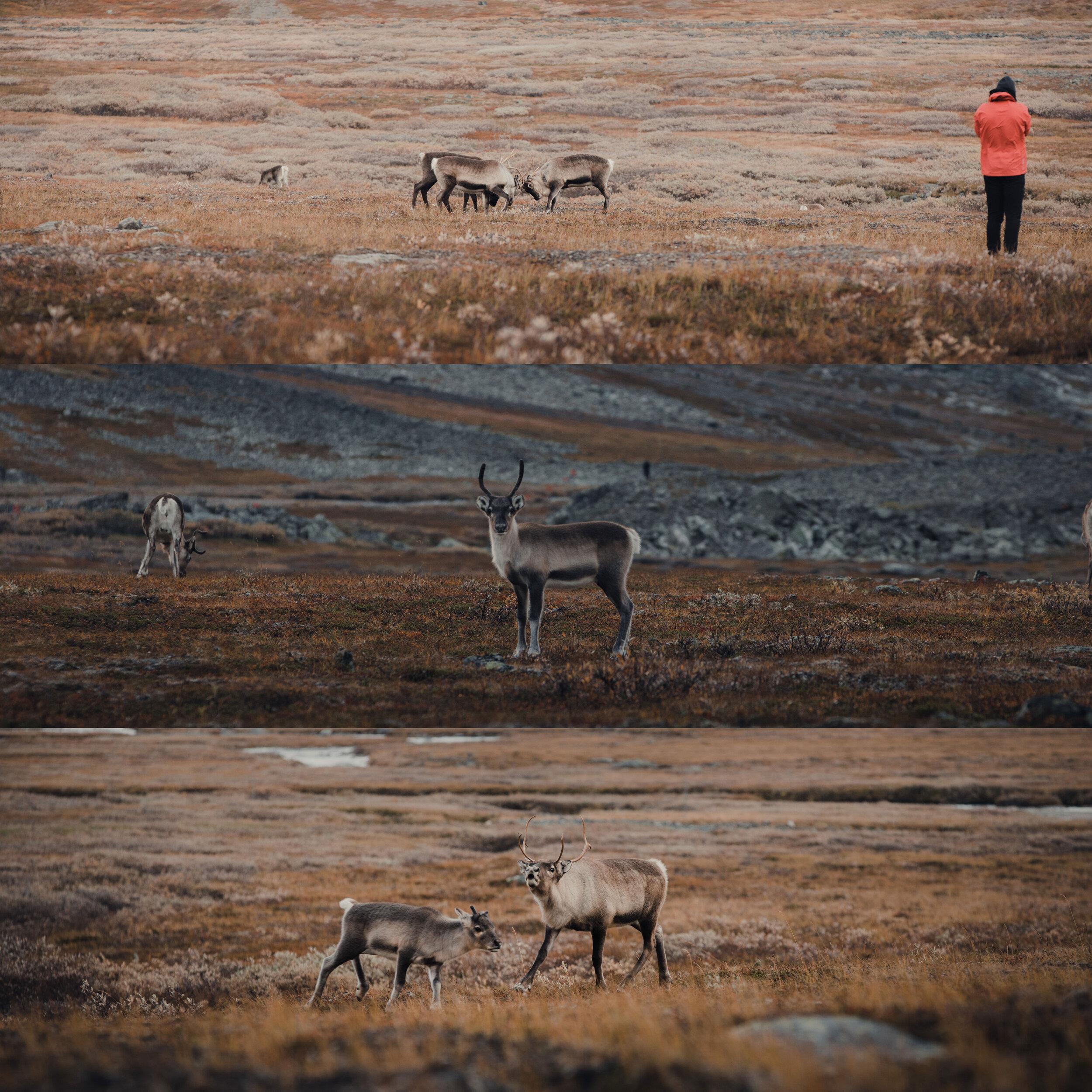 Lapland reindeers roaming the vast Northern land.