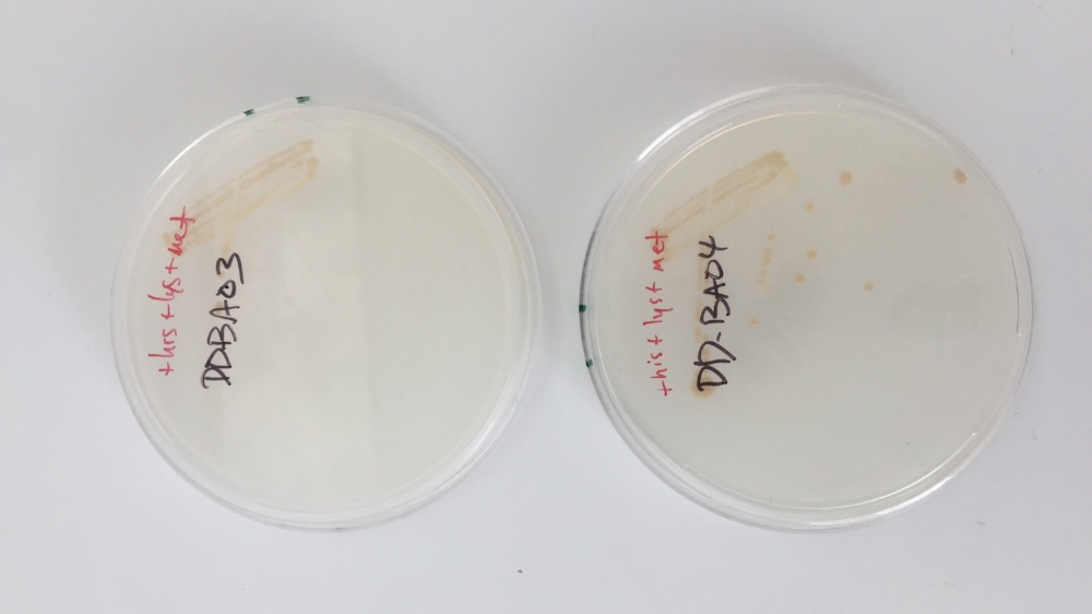 Yeast strains from the Guodong Lab