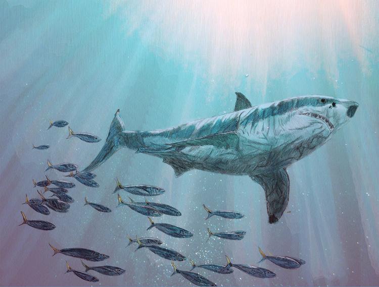 ilustracion tiburon blanco.jpg