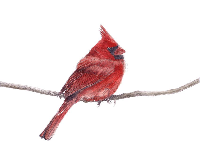 red cardinal_web.jpg