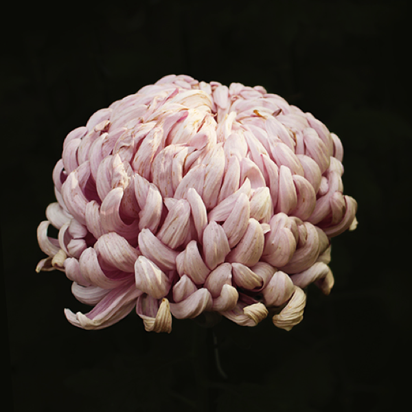 Japanese Chrysanthemum Photographs