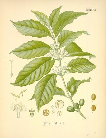 Diagram_of_Coffea_arabica-original.jpg