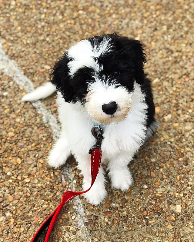 I suppose it's time for a formal introduction. This is Lucie, the newest member of our family. She's an adorable little Sheepadoodle pup. (Old English Sheepdog and Standard Poodle mix.) She's SO MUCH work, but I'm mostly confident it will be worth it in the end. RIGHT?! 🤪 #sheepadoodle #sheepadoodlepuppies #luciethesheepadoodle