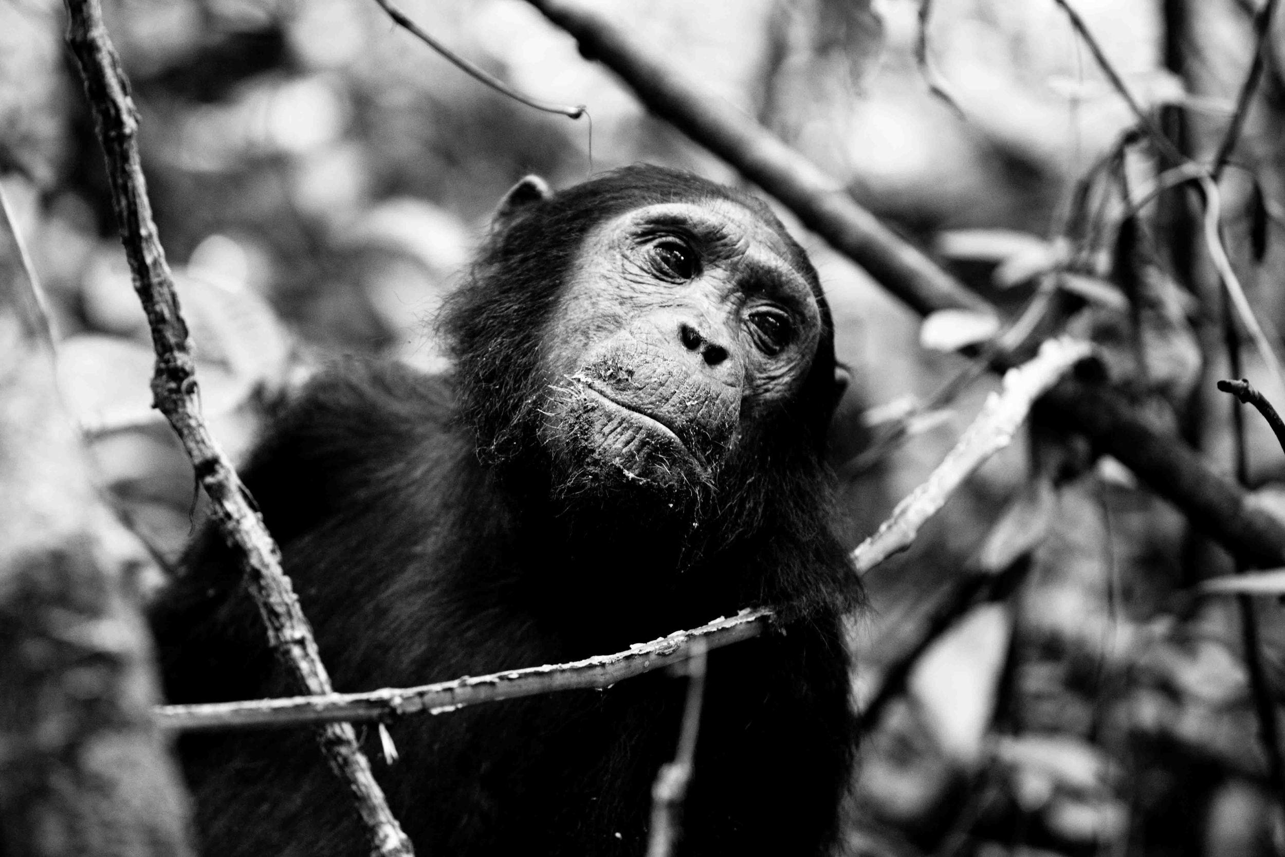 Chimp Trekking, Mahale National Park, Tanzania