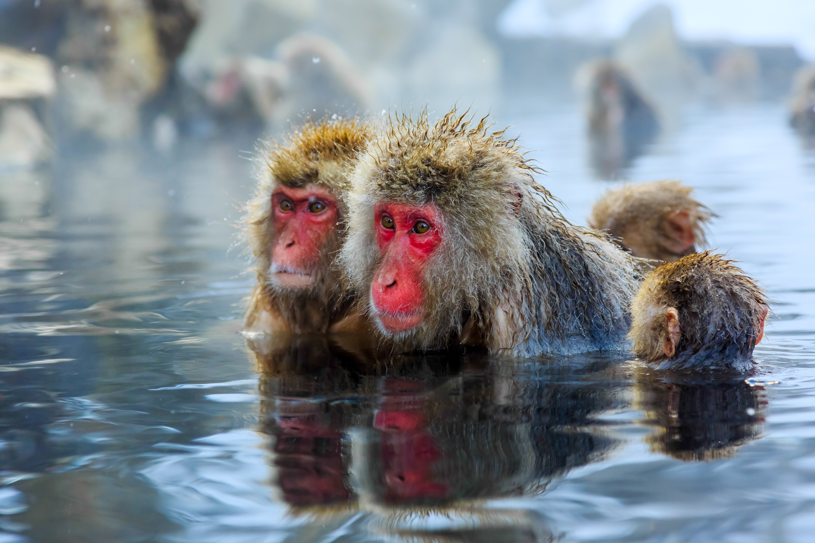 Japan Snow Monkeys - Asia Travel Specialists