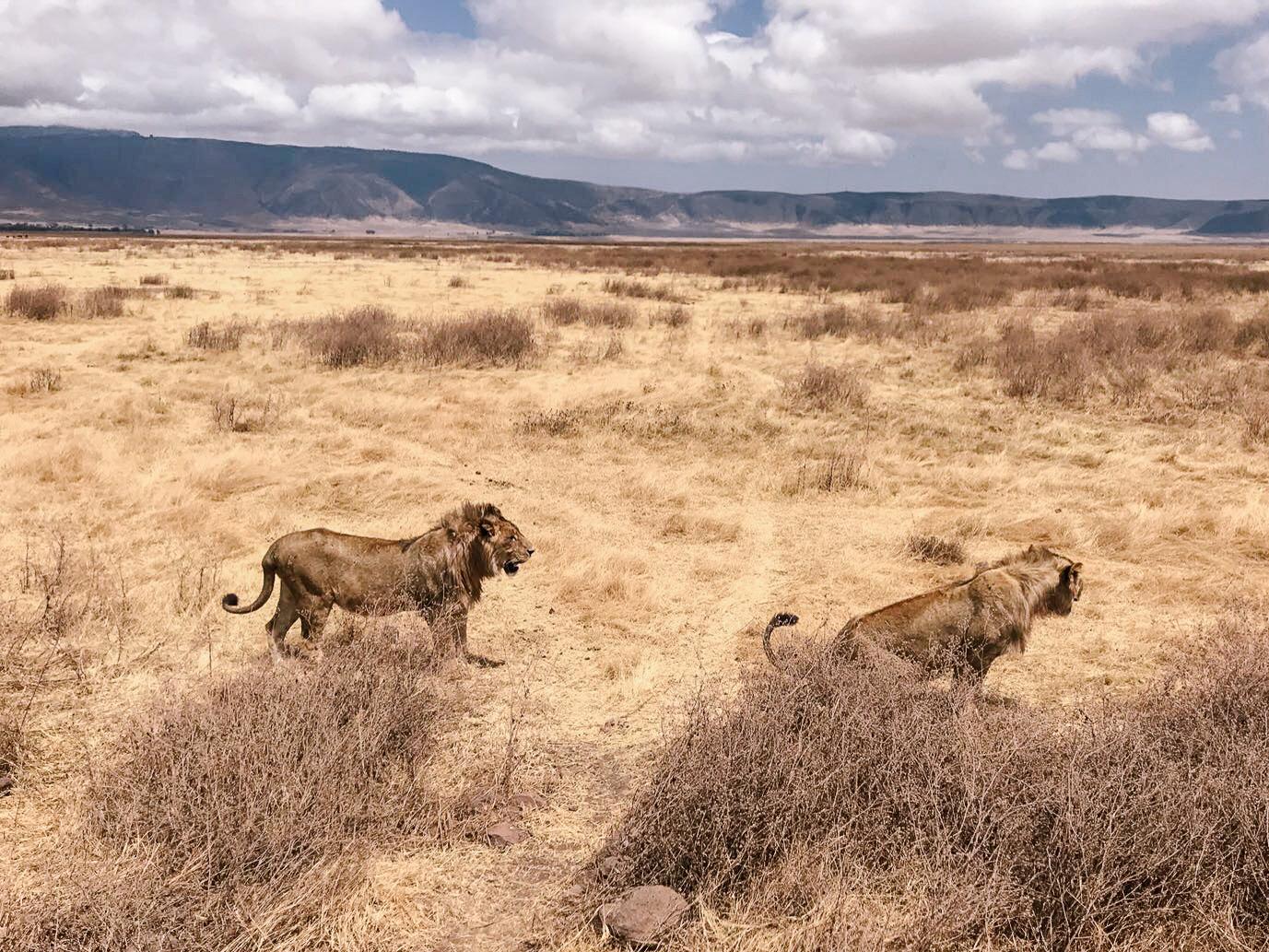 Lions Safari - East African Honeymoon